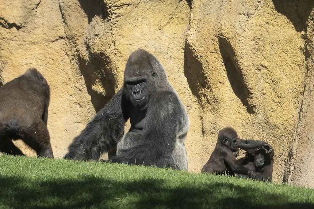 El gorila espalda plateada Mambie en BIOPARC Valencia