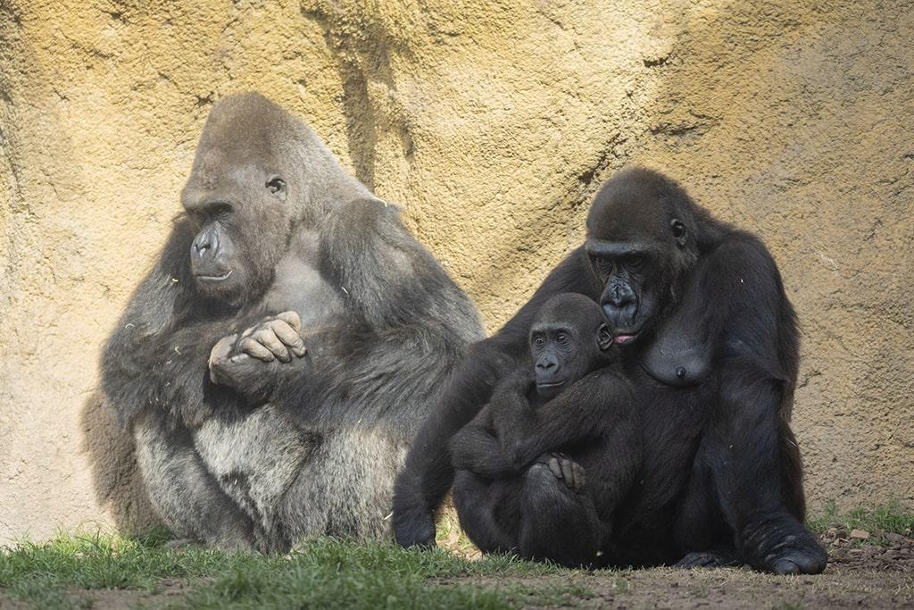 La gorila Fossey con su hijo Pepe en BIOPARC Valencia