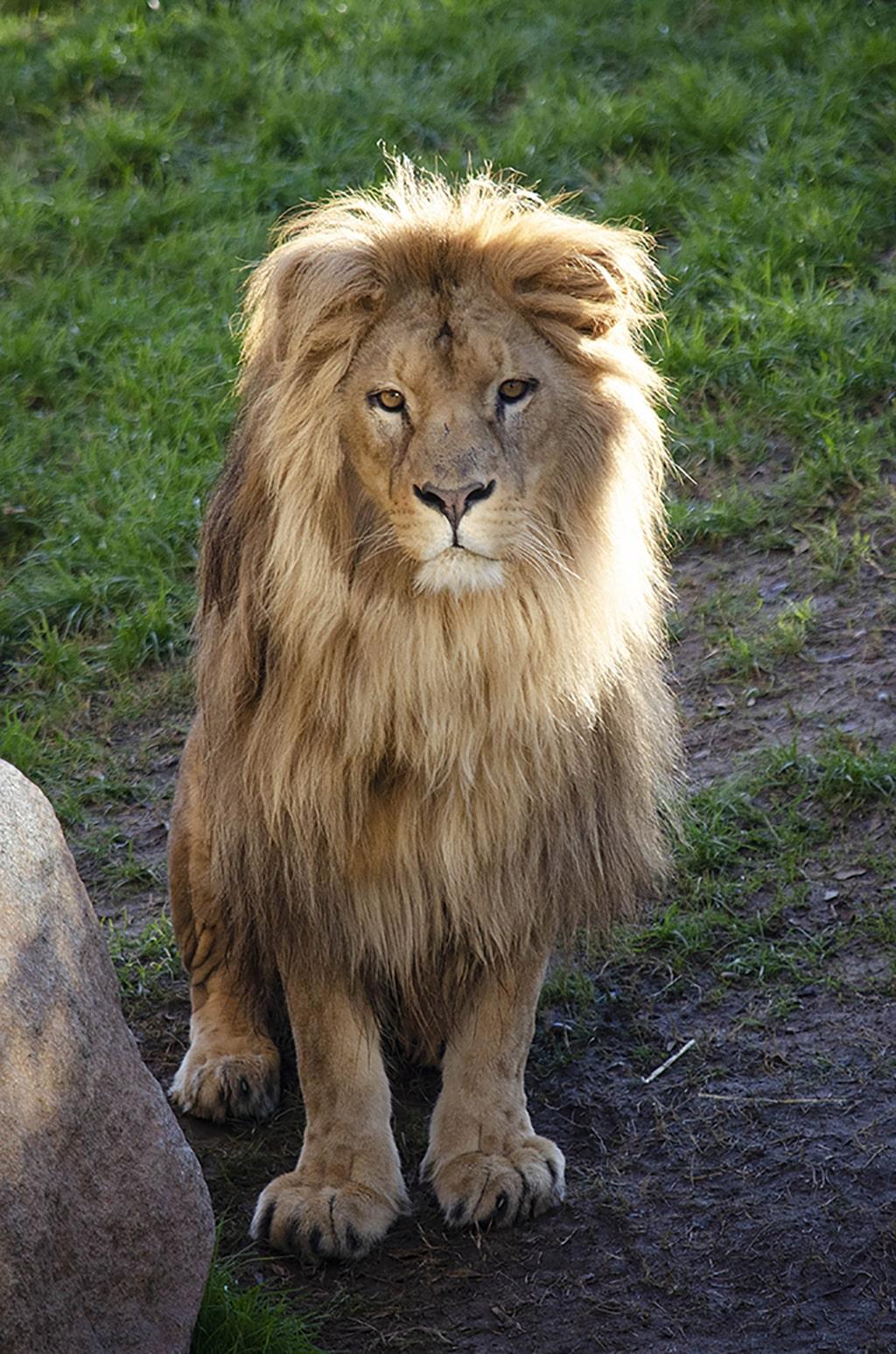 Lubango, el león macho de BIOPARC Valencia, cumple 5 años