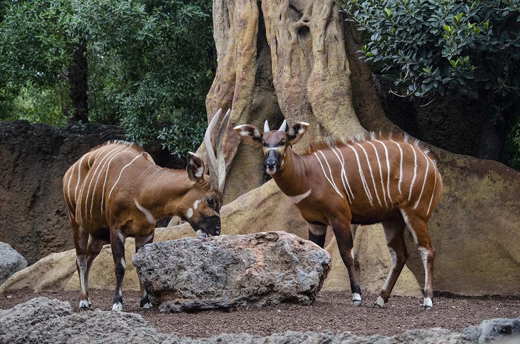 Bongos orientales, especie en peligro crítico de extinción, en BIOPARC Valencia