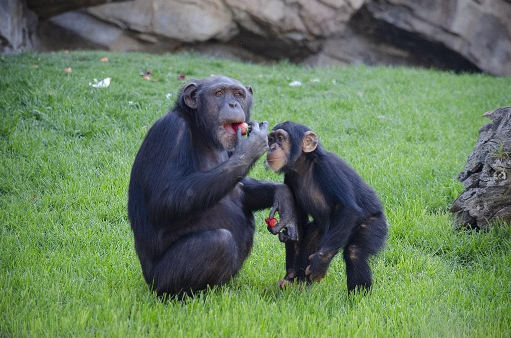 Chimpancés comiéndose fresas de El Corte Inglés