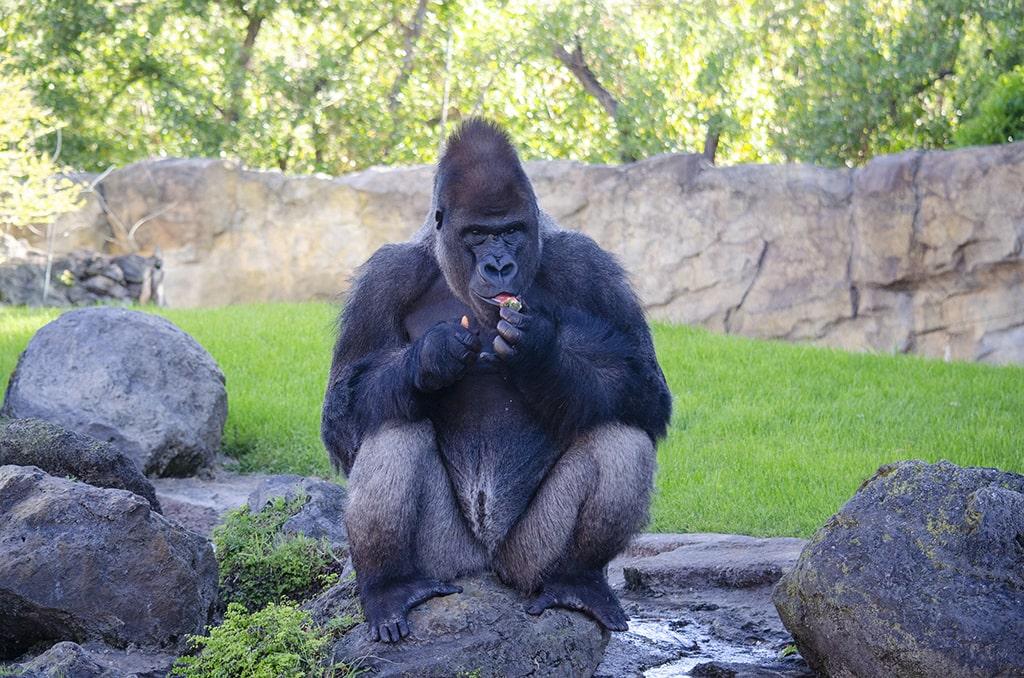 El gorila Kabuli comiéndose alimentos de El Corte Inglés