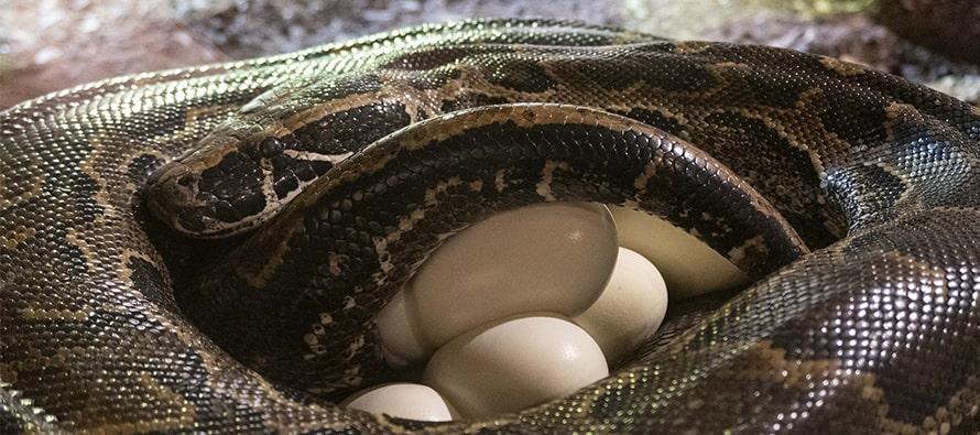 Impresionante puesta de huevos de la Pitón de Seba en BIOPARC Valencia, la serpiente más grande de África