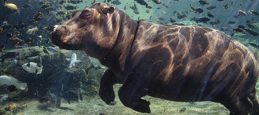 La cría de hipopótamo cumple 11 meses en BIOPARC