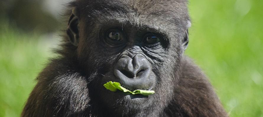 El bebé gorila Félix cumple 2 años en BIOPARC Vallencia