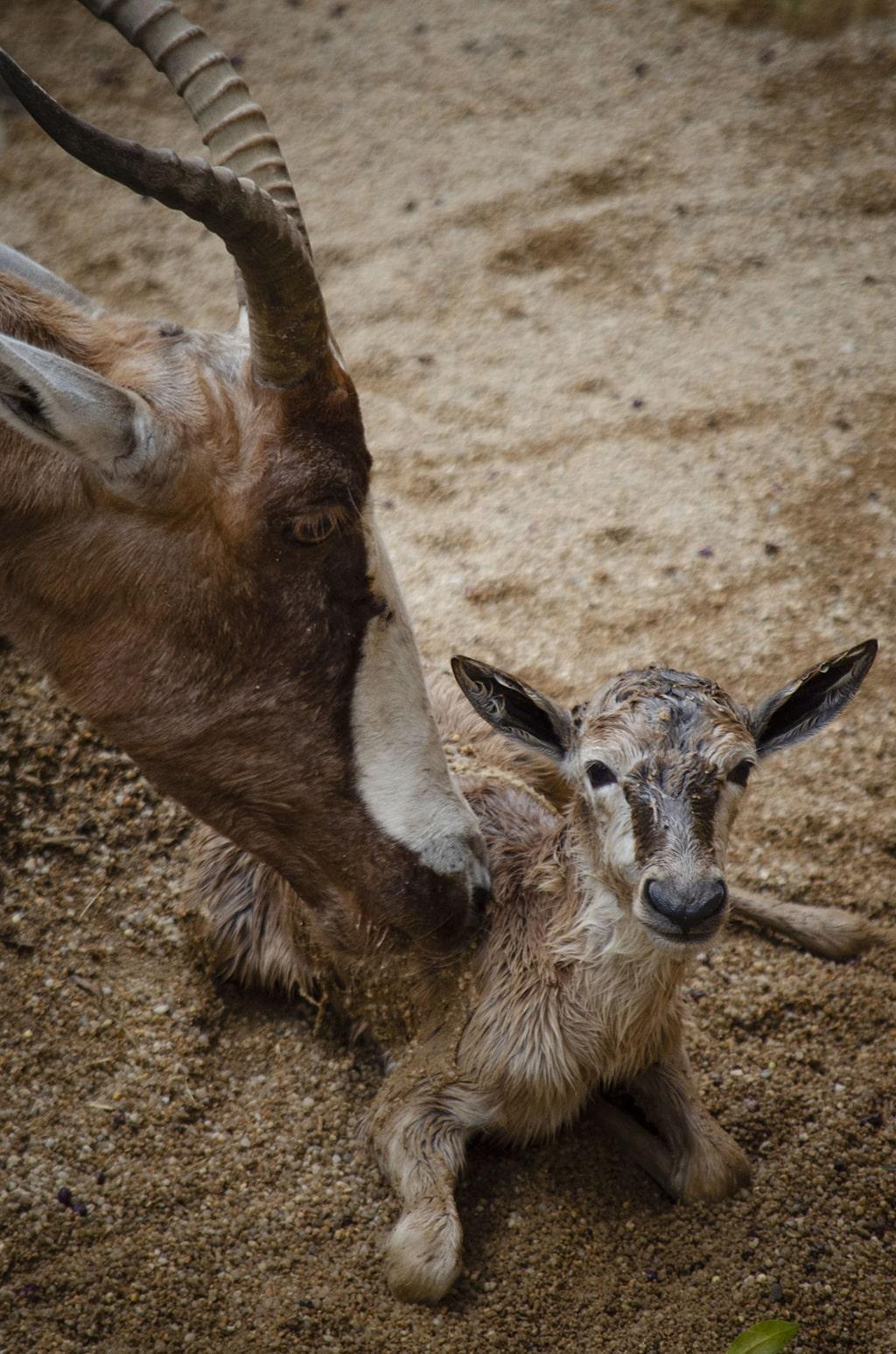 Nacimiento en directo de un blesbok en BIOPARC Valencia