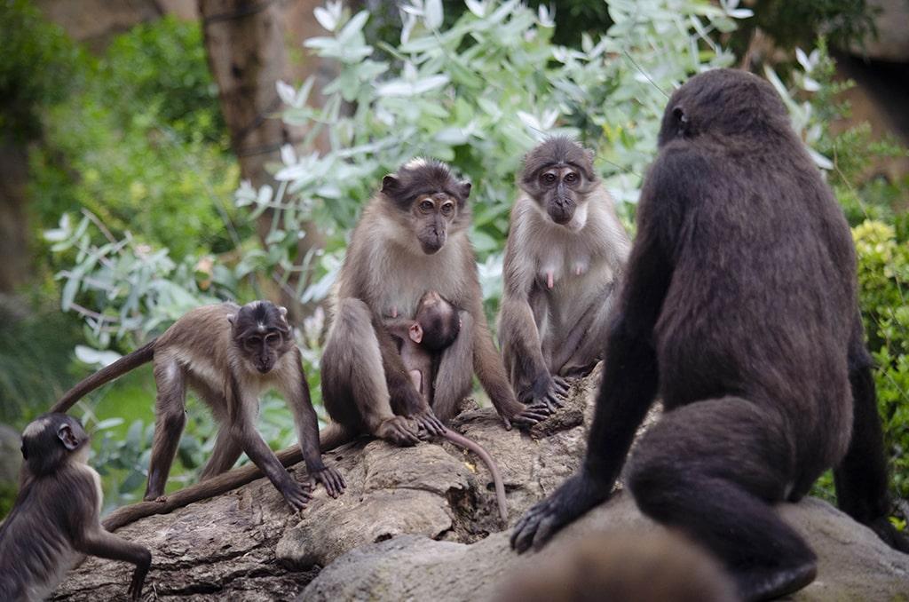 Mangabeys y gorilas en la selva ecuatorial de BIOPARC Valencia