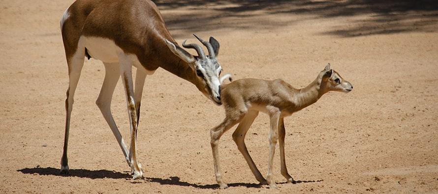 Nacimiento en BIOPARC Valencia de una especie que salvó de la extinción un conservacionista español