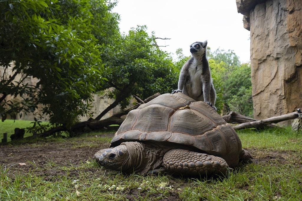 Tortuga gigante de Aldabra y lemur de cola anillada en BIOPARC Valencia