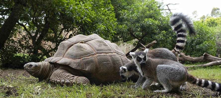 """Tortugas """"gigantes"""" de Aldabra en BIOPARC Valencia"""