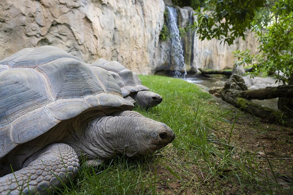 Tortugas gigantes de Aldabra en BIOPARC Valencia 2021