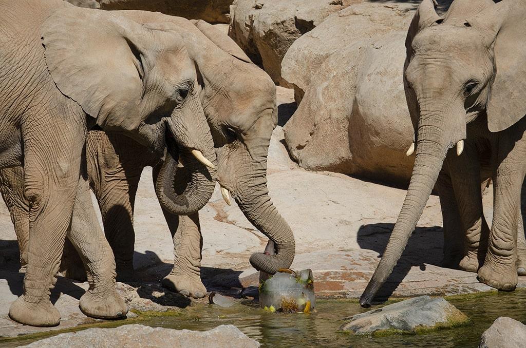 Refrescantes helados para los elefantes de BIOPARC Valencia