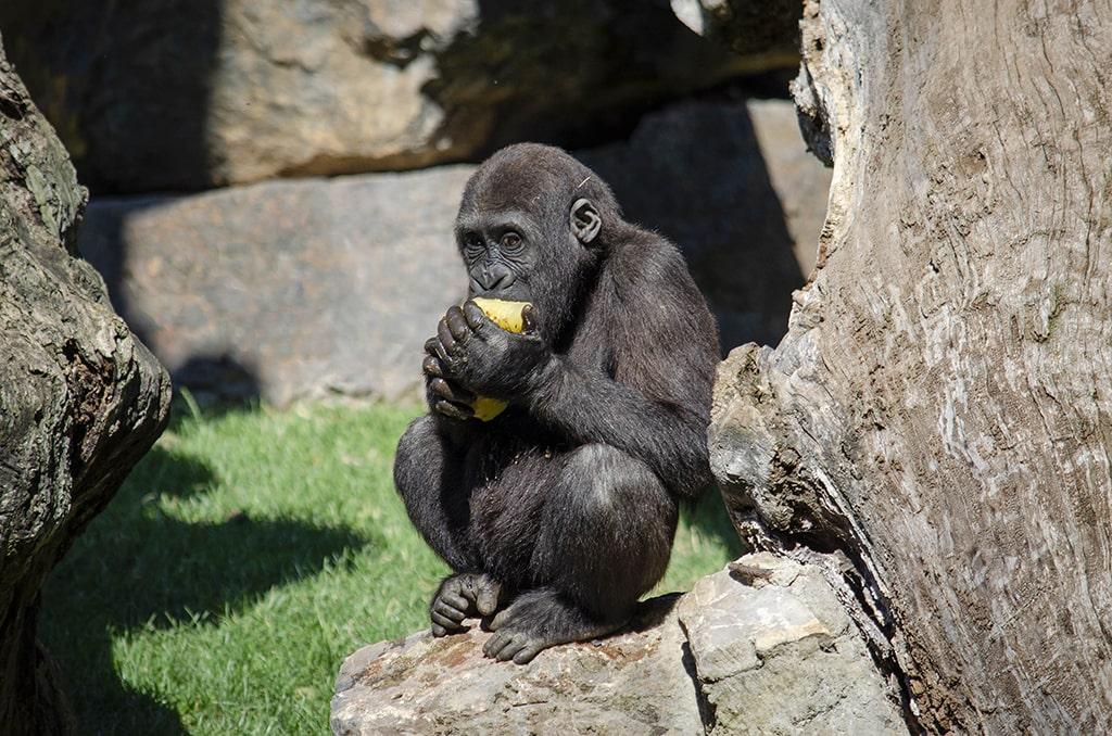 Refrescantes helados para los gorilas de BIOPARC Valencia