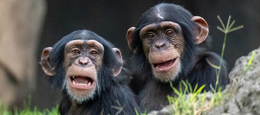 Coco y Djibril - crías de chimpancé BIOPARC Valencia