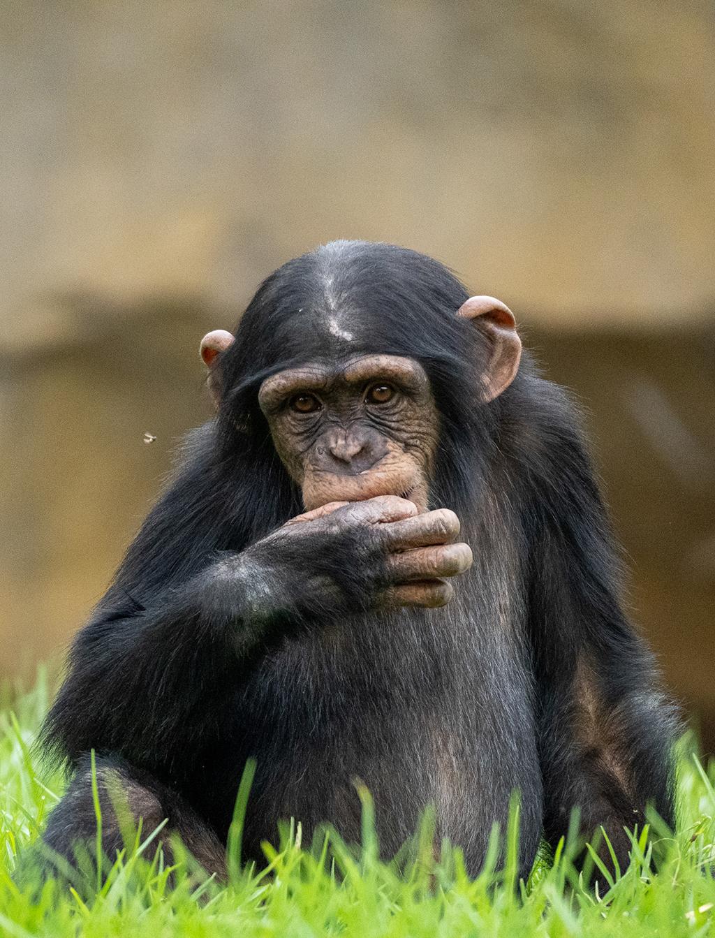 El chimpancé Coco en BIOPARC Valencia