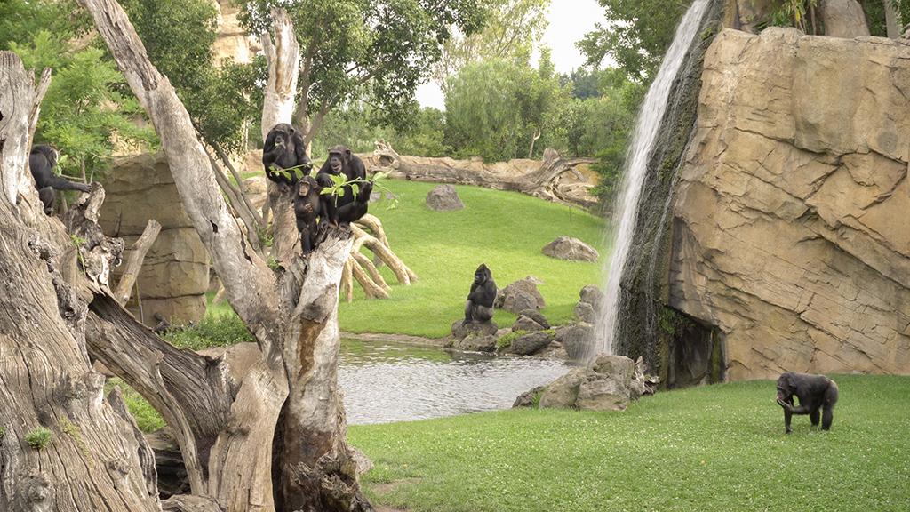 Familia de chimpancés en BIOPARC Valencia