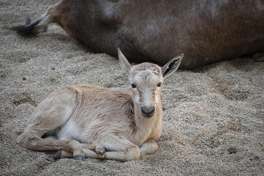 BIOPARC Valencia despide el verano con el nacimiento de un blesbok